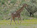 Giraffe (Giraffa camelopardalis) (6896276832).jpg
