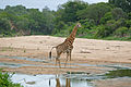 Giraffe (Giraffa camelopardalis) male defecating in Biyamiti riverbed (16583570666).jpg