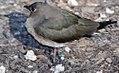 Glareola maldivarum 2zz.jpg