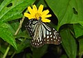 Glassy Tiger Parantica aglea by Dr. Raju Kasambe DSCN9884 (10).jpg