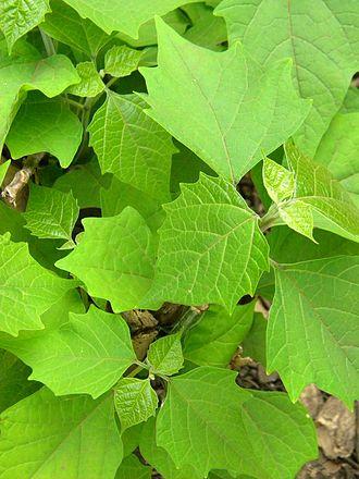 Gmelina arborea - Gmelina arborea sapling from Mindanao, Philippines