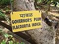 Goa, India 14 Trees and leaves. Governor's Plum. Flacourtia Indica.jpg