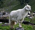 Goat, Himachal Pradesh.jpg
