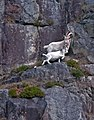 Goats on Lysefjord wall - Norway - panoramio.jpg