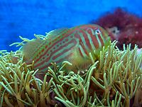 Gobiodon histrio 6.1.2011 030 b