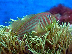 Blaupunkt-Korallengrundel (Gobiodon histrio) in einer Briareum-Weichkoralle (Aquarienaufnahme).