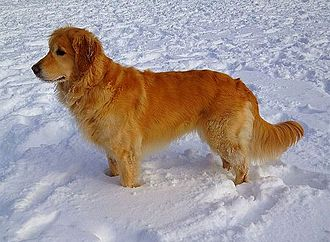 Golden Retriever - American Golden Retriever