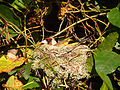 Goldfinch nesting444.jpg