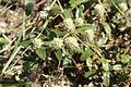 Gomphrena celosioides flowerhead6 (14440160038).jpg