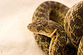 Gopher Snake Pituophis catenifer 02.jpg
