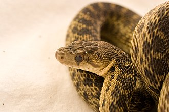 Pituophis catenifer - Gopher snake