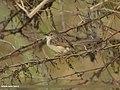 Graceful Prinia (Prinia gracilis) (34474933952).jpg