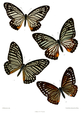 Graphium xenocles 516.png