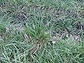 Gras in natürlicher Umgebung-2.JPG