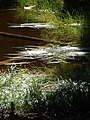 Grass in pond on PCT north of White Pass. (7b21cad5344e4318aef02a93027d3fed).JPG