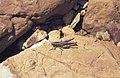 Grasshopper. Zahara beach. Andalusia (23903886268).jpg