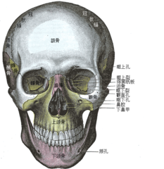 The skull from the front.