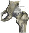 Extracapsular ligaments. Anterior (left) and posterior (right) aspects of right hip.