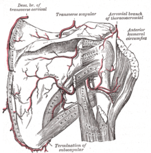 rhomboid major muscle wikipedia