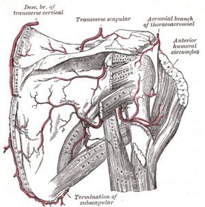 Rhomboid major muscle - The scapular and circumflex arteries. Rhomboid major labelled at lower left.
