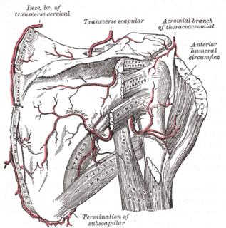 Scapular anastomosis circulatory system around the shoulder blade
