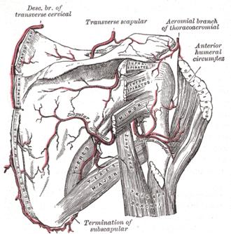 Rotator cuff - The scapular and circumflex arteries (posterior view).