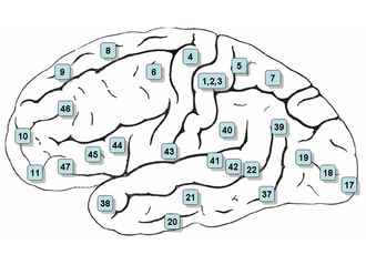 Neurolinguistics - Surface of the human brain, with Brodmann areas numbered