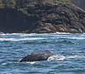 Gray whale , Depoe Bay OR.jpg