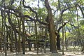Great Banyan Tree (14824333016).jpg