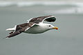 Great Black-backed Gull (7496488930).jpg