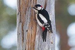 Great Spotted Woodpecker (Dendrocopos major) (13667857655).jpg