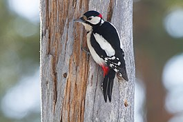Great Spotted Woodpecker (Dendrocopos major) (13667857655).jpg