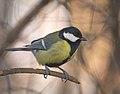 Great tit (31413824343).jpg
