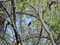 Greater Racket-tailed Drongo (Dicrurus paradiseus) (15635034919).jpg