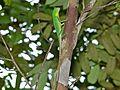 Green Crested Lizard (Bronchocela cristatella) (8440949192).jpg