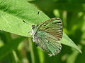 Green Hairstreak (Callophrys rubi).jpg