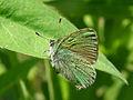 Green Hairstreak (Callophrys rubi).jpg