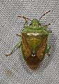 Green Stink Bug - Banasa calva, McKee Beshers WMA, Poolesville, Maryland.jpg