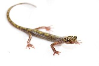 Green salamander - Image: Green salamander