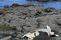 Green turtle at black sand beach 1001.jpg