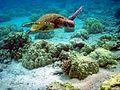 Green turtle in kona.jpg
