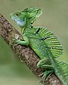 Greenbasilisklizard costarica (17816619826).jpg
