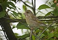 Greenfinch (48059584906).jpg