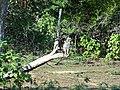 Greifvogel Yala National Park 2017-10-26 (3).jpg