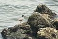 Grey-tailed Tattler キアシシギ (3496579943).jpg