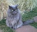 Grey Longhaired Female Cat.jpg