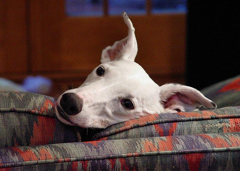 http://upload.wikimedia.org/wikipedia/commons/thumb/3/33/Greyhound_puppy_white.jpg/800px-Greyhound_puppy_white.jpg