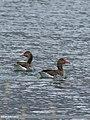 Greylag Goose (Anser anser) (46526872762).jpg