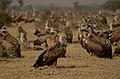 Griffon vultures gyps fulvus JEG4824.jpg