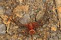 Ground Crab Spider - Xysticus species, Kelly's Ford, Virginia.jpg